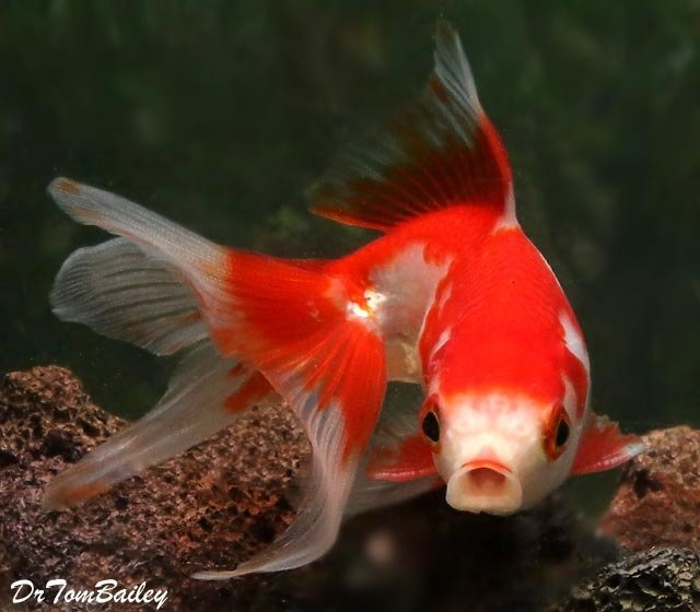 Premium Red & White Fantail Goldfish