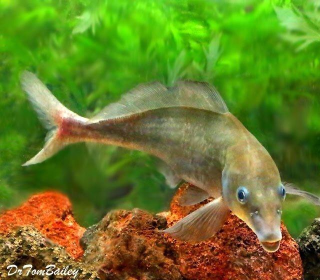 Premium WILD, Rare Baby Dolphin Mormyrid