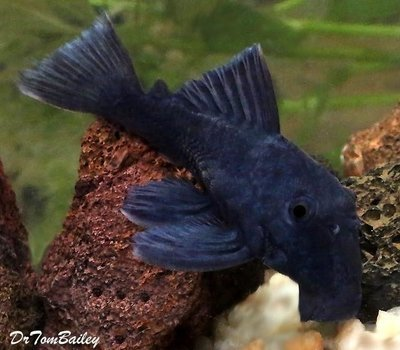 Premium New, WILD, Blue Panaque Pleco, L239