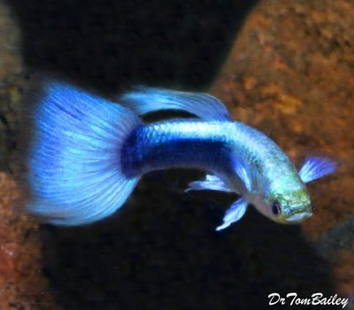 Premium MALE Metallic Blue Fancy Guppy