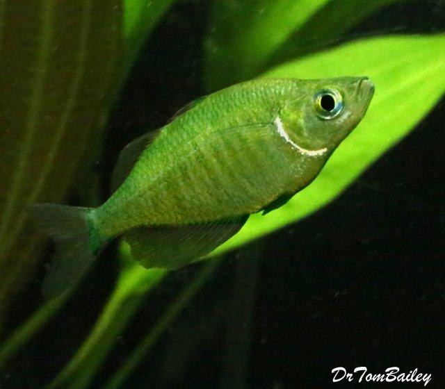 Premium Emerald Rainbowfish