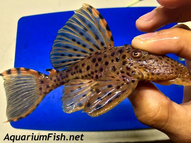 Premium WILD, Rare Three Beacon Plecostomus, L091
