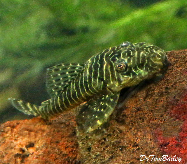 Premium WILD, New, and Rare Tigris Pleco, L257