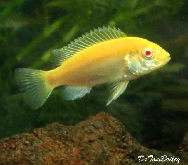 Premium Lake Malawi Albino Electric Yellow Cichlid