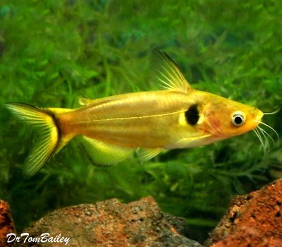 Premium WILD, Golden Metallic Sun Catfish