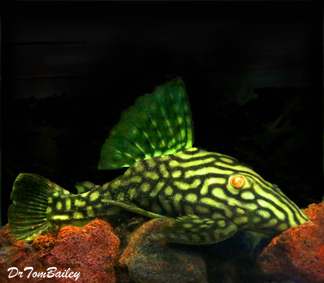 Premium WILD, New, Spotted Royal Pleco