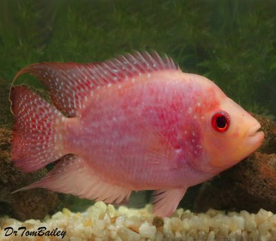 Premium Rare and New, Red Texas Flowerhorn Cichlid