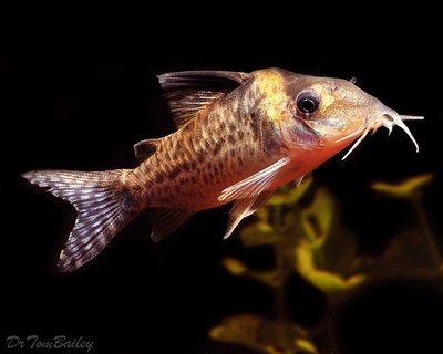 Premium WILD, Agassizii Corydoras Catfish