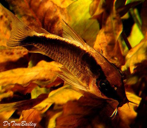Premium WILD, Arcuatus Skunk Corydoras Catfish