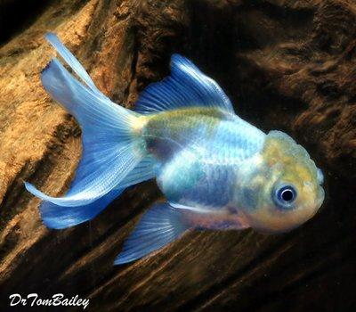 Premium Rare Blue Oranda Goldfish