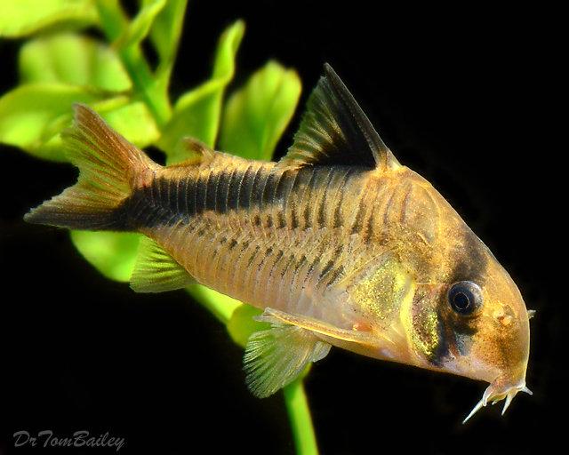 Premium WILD, False Bandit Melini Corydoras Catfish
