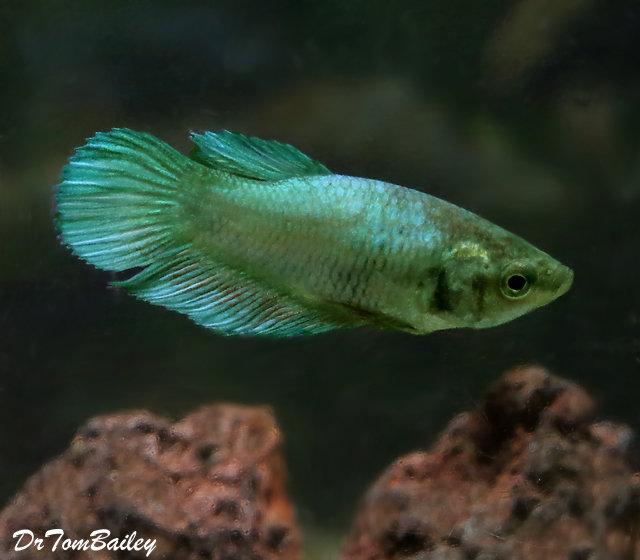 Premium FEMALE Green Betta Fish