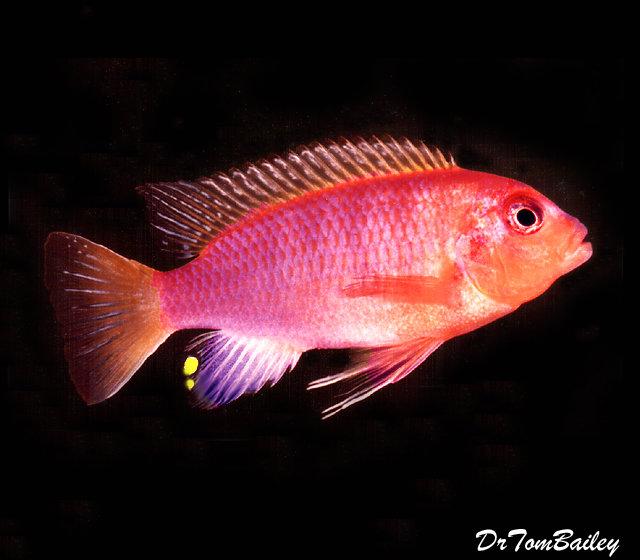Premium Lake Malawi Aurora Mbuna Cichlid