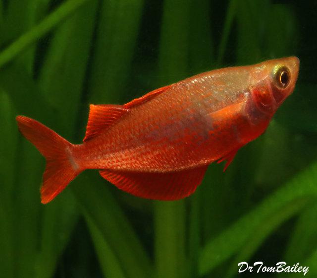Premium Millennium Rainbowfish