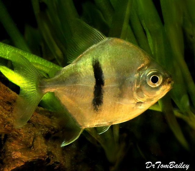 Premium WILD, Rare Black Bar Silver Dollar Fish