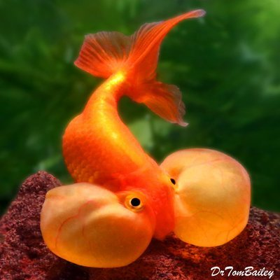 Premium Red Bubble-Eye Goldfish