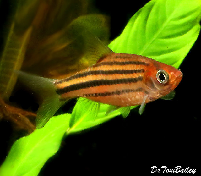 Premium New Lineatus Barb