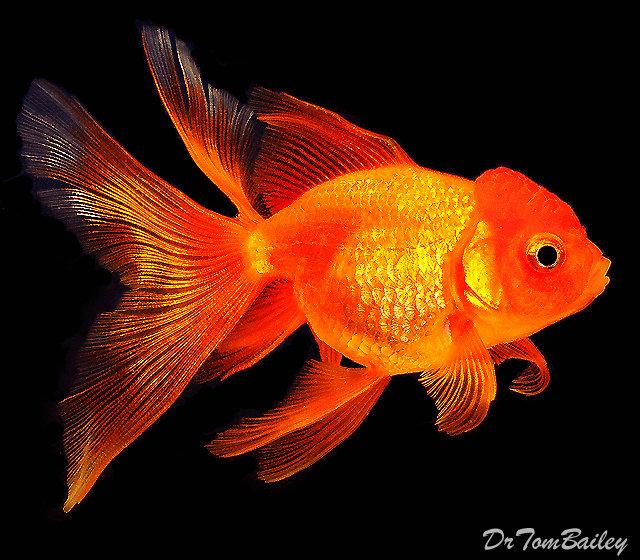 Premium Red Oranda Goldfish