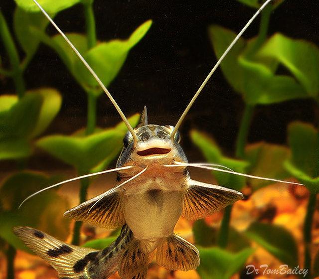 Premium Peruvian Pimelodus Pictus Catfish