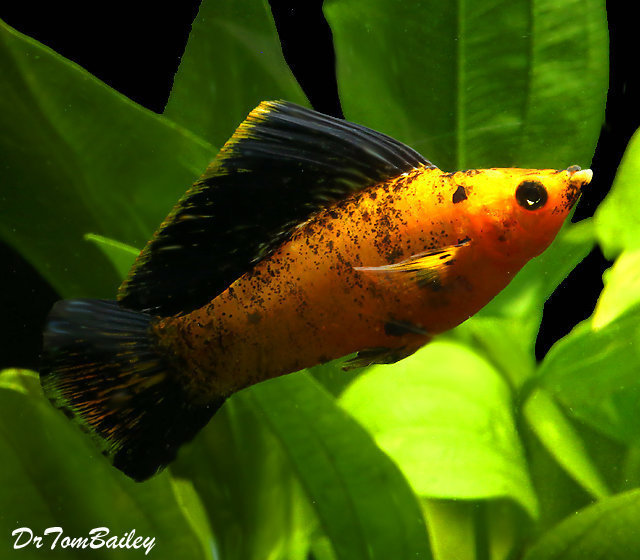 Premium MALE Sunset Marble Molly