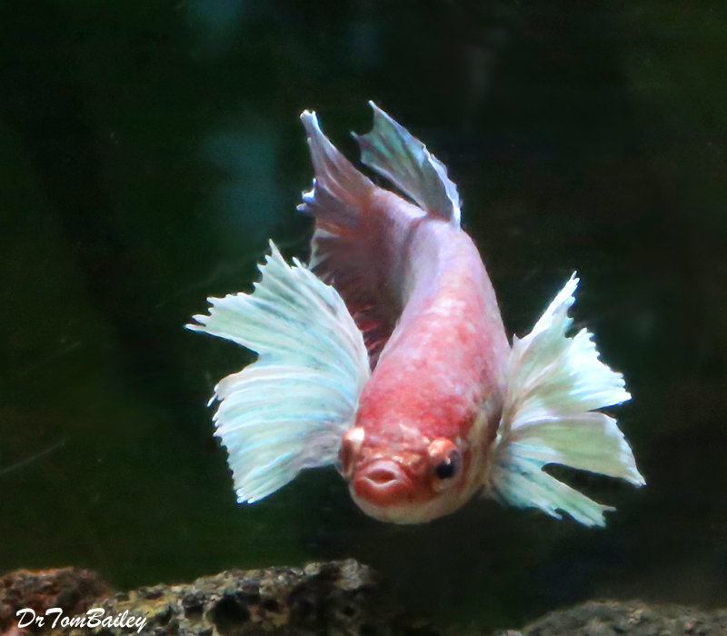 Premium FEMALE Rare Assorted Dumbo Ear Halfmoon Betta Fish
