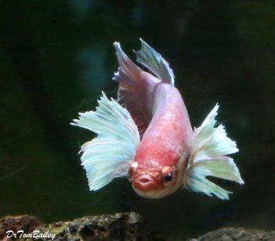 Premium FEMALE Rare Assorted Dumbo Ear Halfmoon Betta Fish