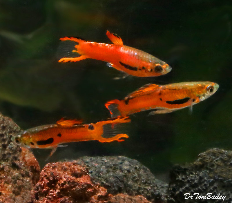 Premium MALE Rare Red Scarlet Endler's Livebearer, Nano Fish