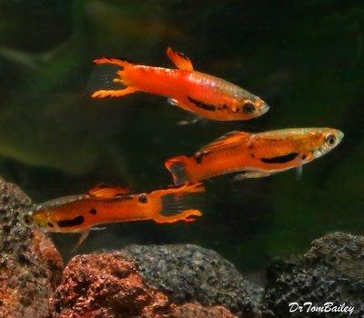 Premium MALE Rare Red Scarlet Endler's Livebearer, Nano Fish
