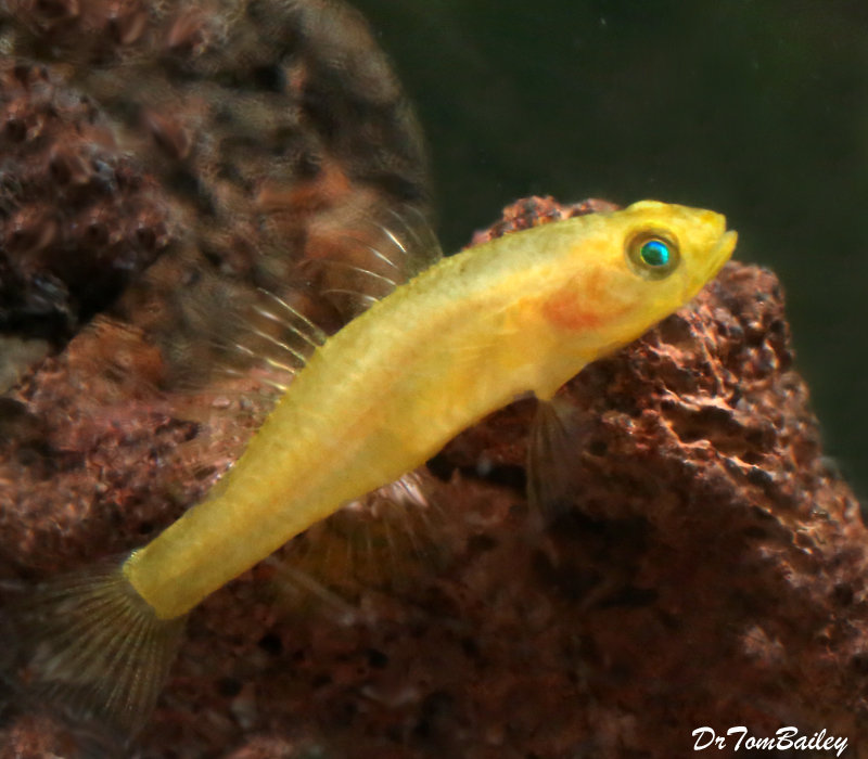 Premium Rare Freshwater Goby, Golden Rexi Goby, Nano Fish