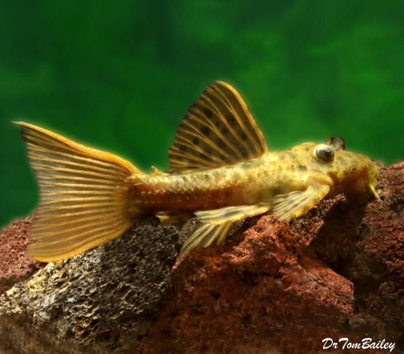 Premium WILD, Rare Spiny Monster Plecostomus Catfish, L096