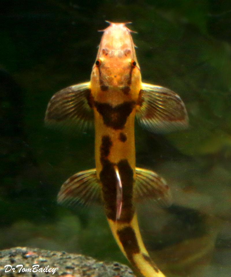 Premium Rare Gecko Loach, Homaloptera orthogoniata