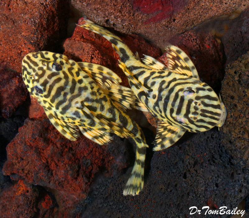 Premium WILD, Rare Leopard Frog Plecostomus, L134