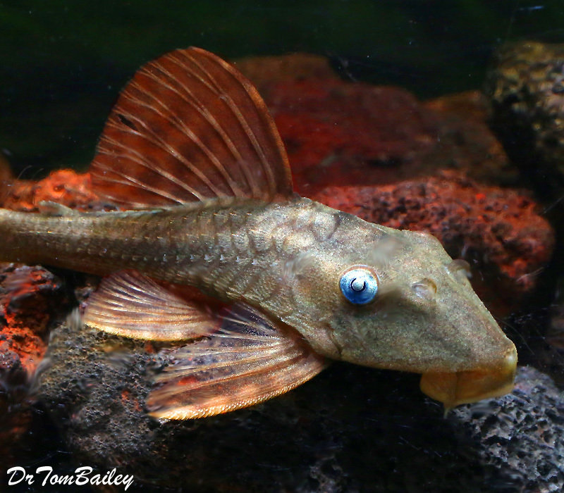 Premium WILD, Rare Blue Eye, Red Fin Pleco, L-137