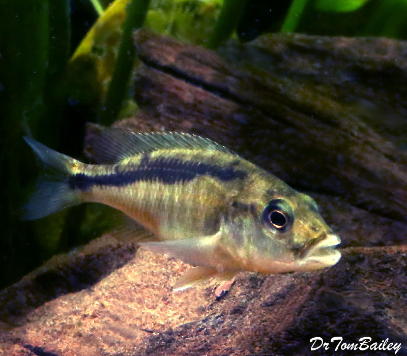 Premium New Rare, Lake Malawi Trout, Champsochromis caeruleus Cichlid