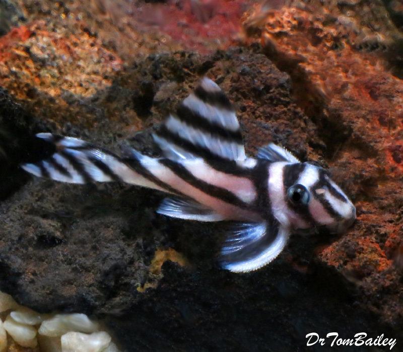 Premium True Zebra Plecostomus, L046