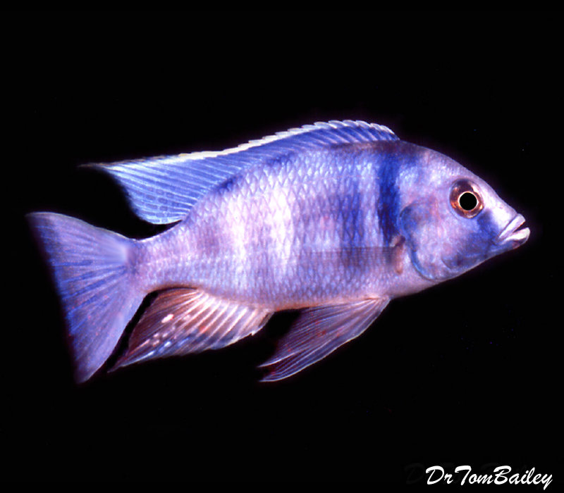 Premium Lake Malawi Deep Water Hap, Placidochromis electra