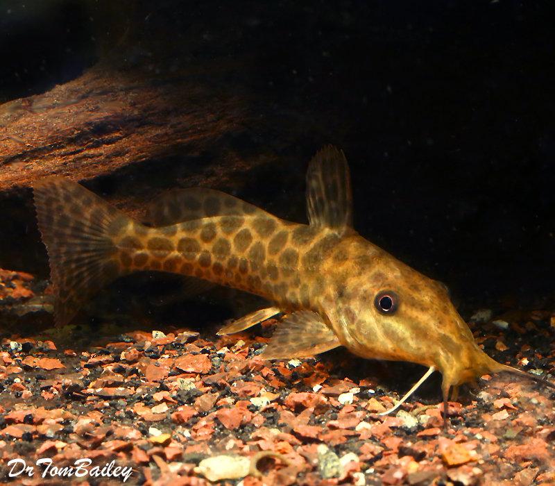 Premium Rare Giraffe Catfish