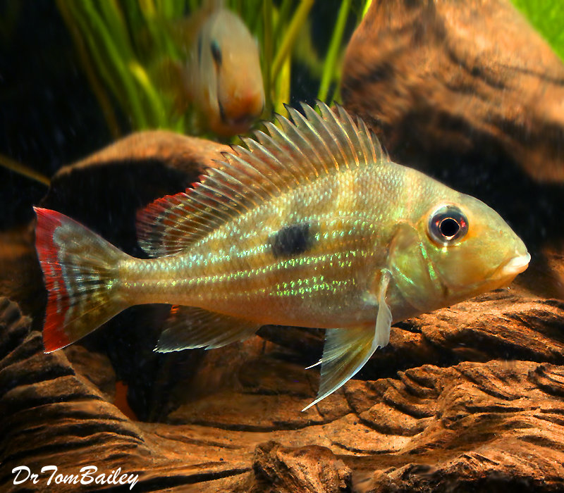 Premium Rare and New, Geophagus Winemilleri Cichlid
