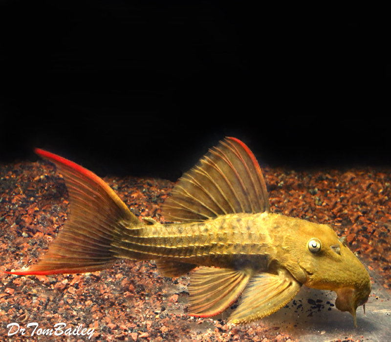 Premium WILD, Rare Red Fin Cactus Pleco, also called Flame Pleco, L024