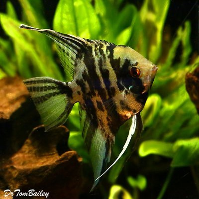 Premium Marbled Angelfish