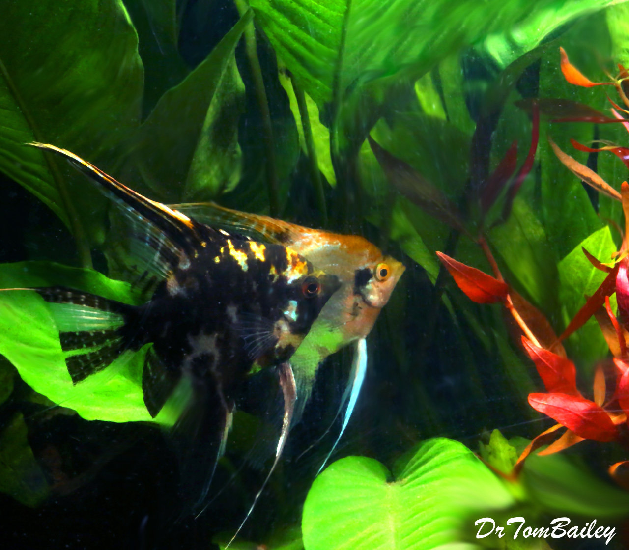 Premium Marbled Angelfish