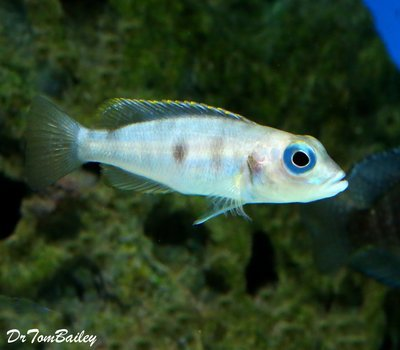 Premium Rare Hecqui Shell Dwelling Cichlid from Lake Tanganyika
