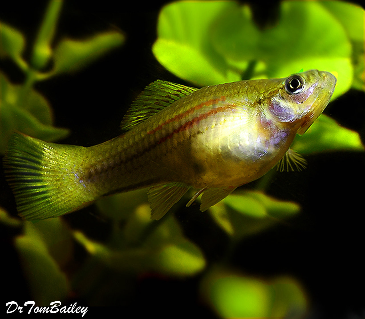 Premium Green Swordtail