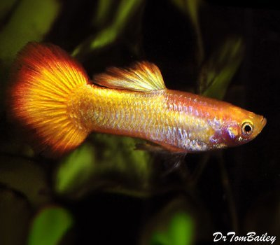 Premium MALE Tequila Sunrise Fancy Guppy