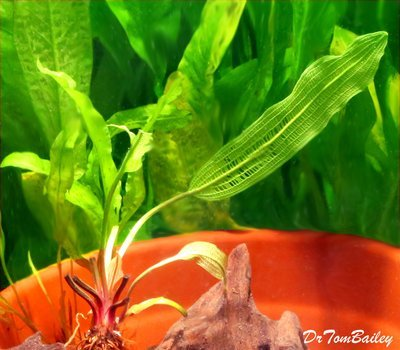 Premium and New, Live Madagascar Plant Bulb, Aponogeton madagascariensis