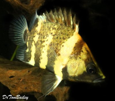 Premium Rare WILD, New Guinea Tiger Datnioides, NGT