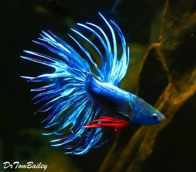 Premium MALE Blue Crowntail Betta Fish