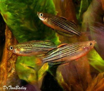 Premium Rare Skull Creek Rainbowfish