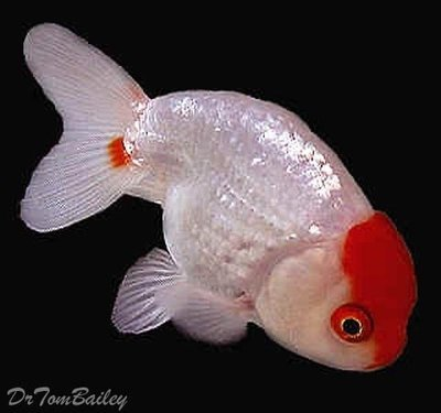 Premium Red & White Ranchu Goldfish