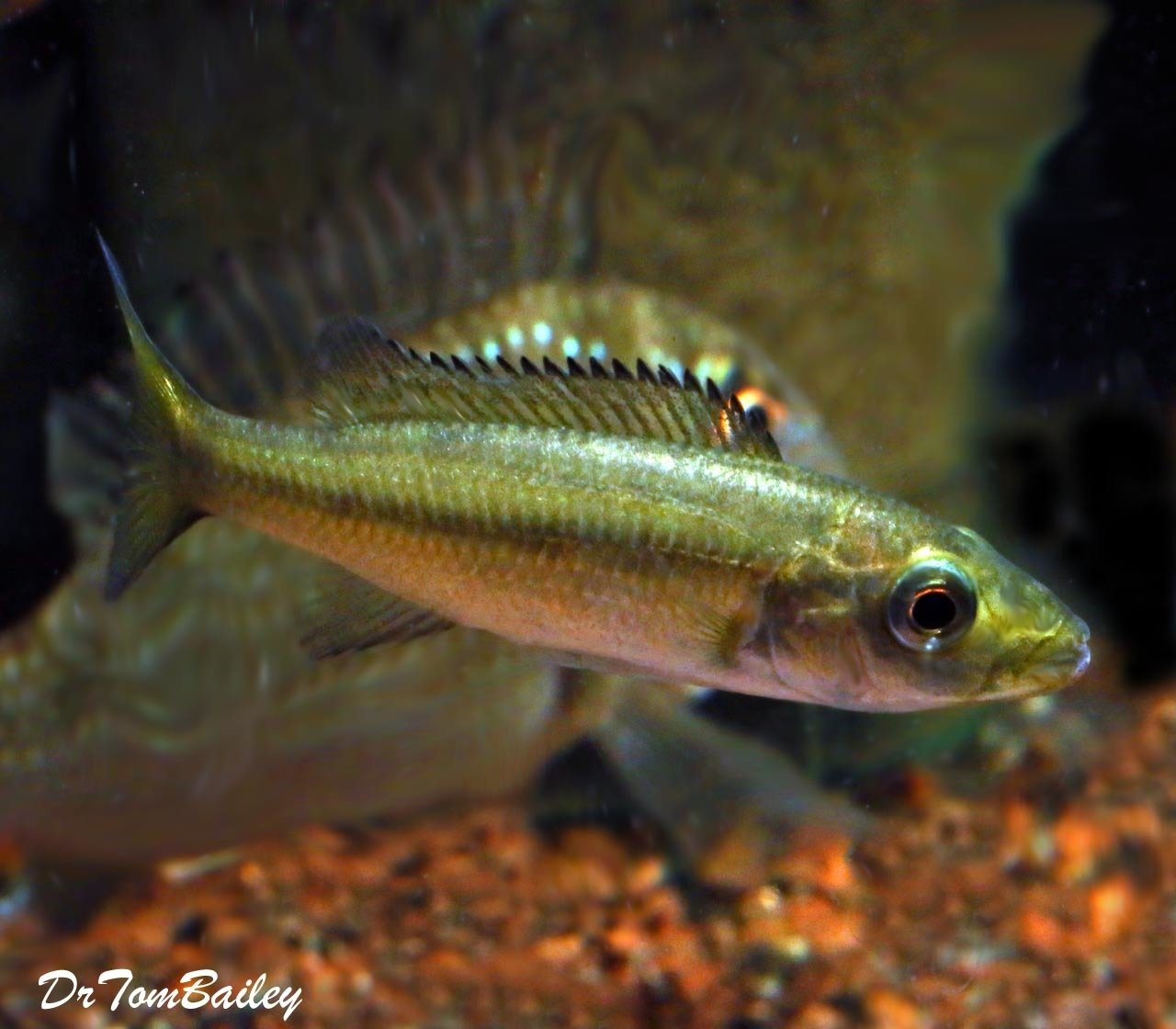 Premium Rare New, Rhamphochromis Esox from Lake Malawi, Tank Raised, in G-11